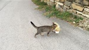 Un gatto rapisce un piccolo di tigre